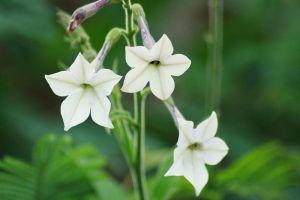 Seasonal gardening: Nicotiana alata