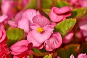 Seasonal Gardening: Begonia