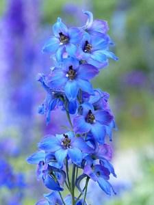 Seasonal gardening: Delphinium