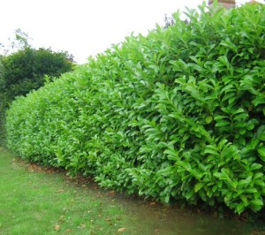 Seasonal Gardening: Laurel