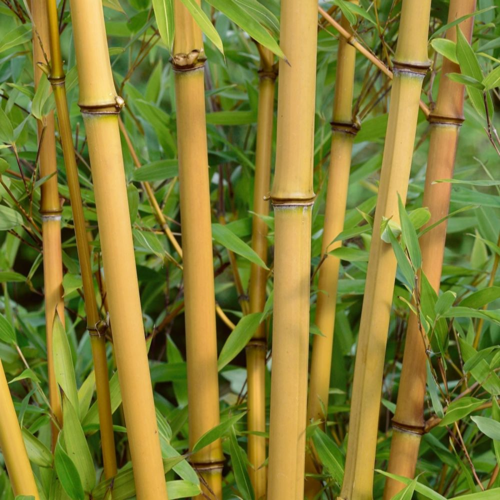 Plants2Gardens 1 x Bamboo in 10 litre Pot