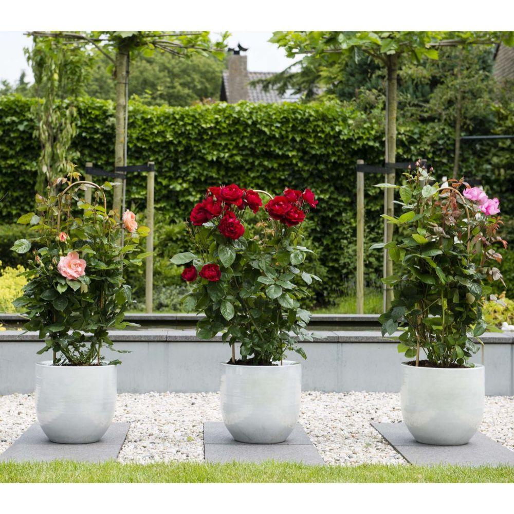 Hayloft Rose Renaissance
