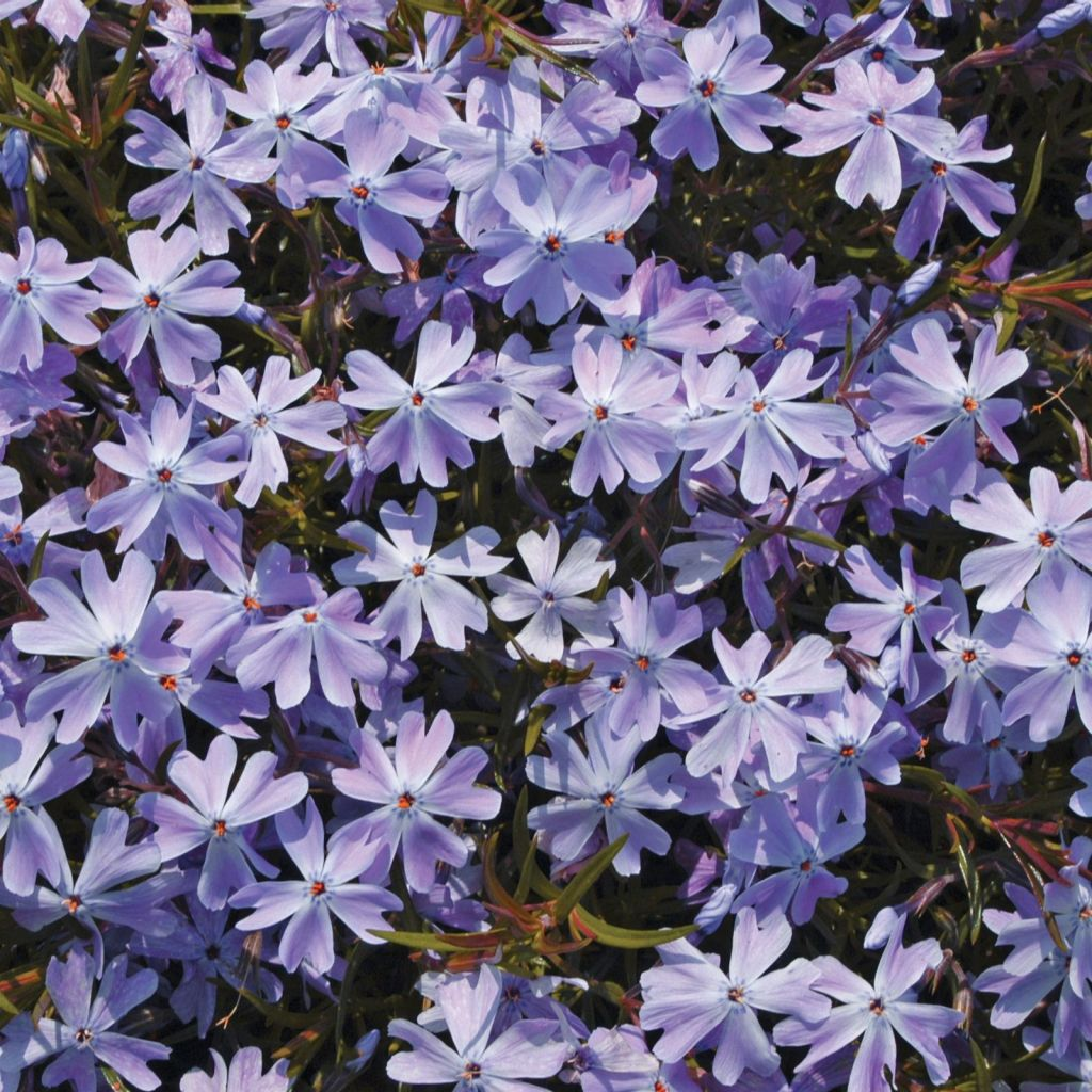 Ground Phlox
