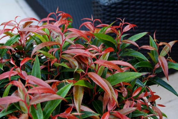 Leucothoe 'Burning Love'