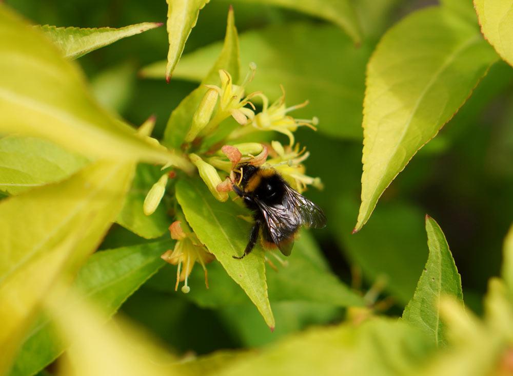 Diervilla Honeybee