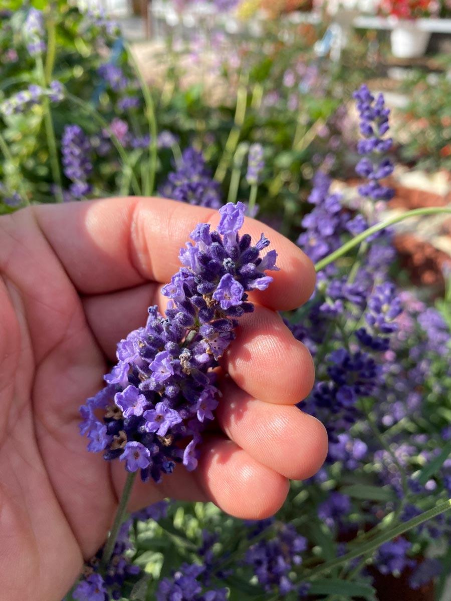 Giant Lavender