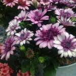 Osteospermum Flower Power