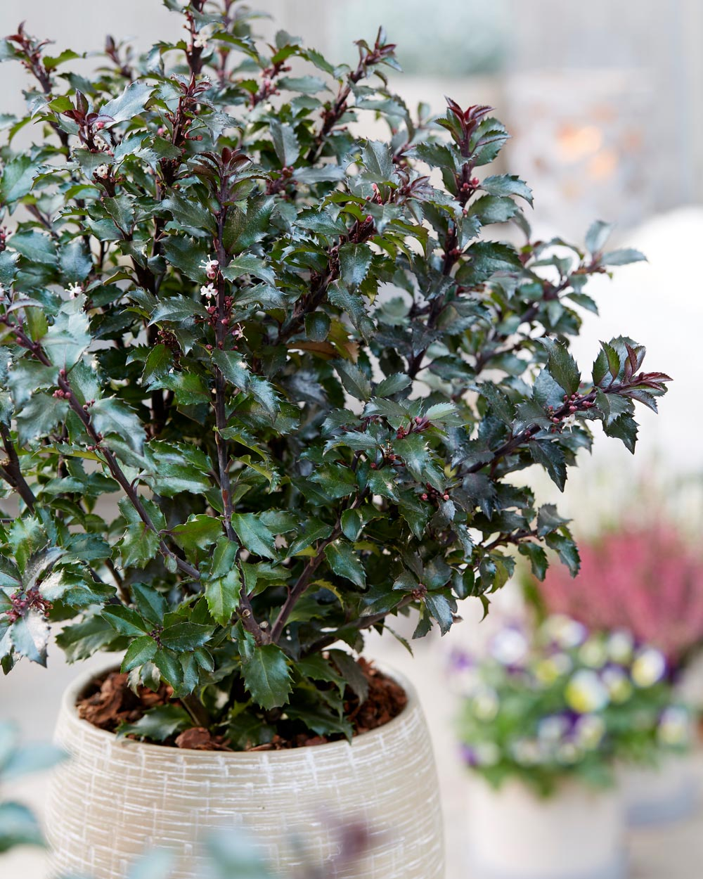 Holly Ilex 'Gentle'