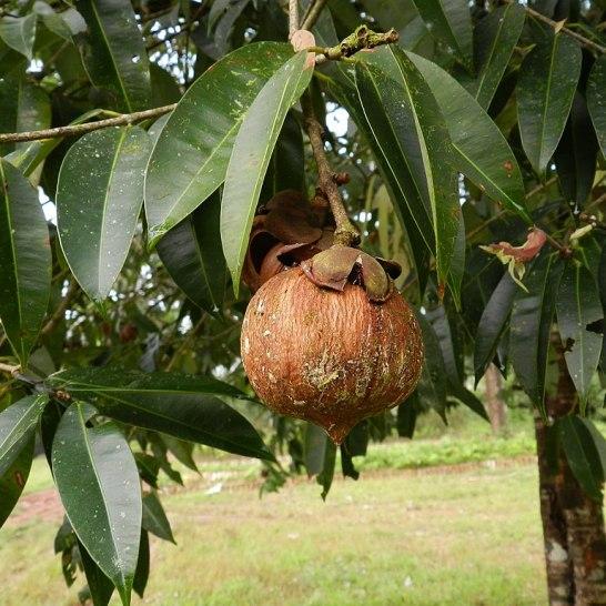 Mesua ferrea fruit