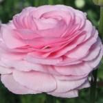 Ranunculus - Persian Buttercup - Rosa
