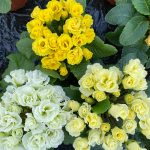 Primrose Primlet Yellow Mix