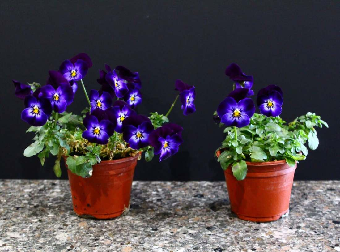 Violas - Plantsurge