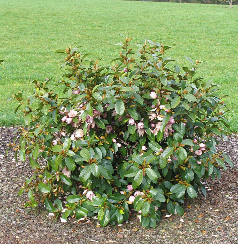Magnolia Fairy Queen shrub