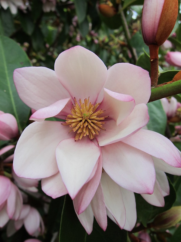 Magnolia Fairy Queen close up