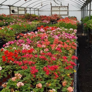 Pelargoniums collection