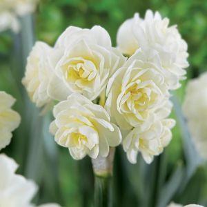 Multi-flowering Daffodils