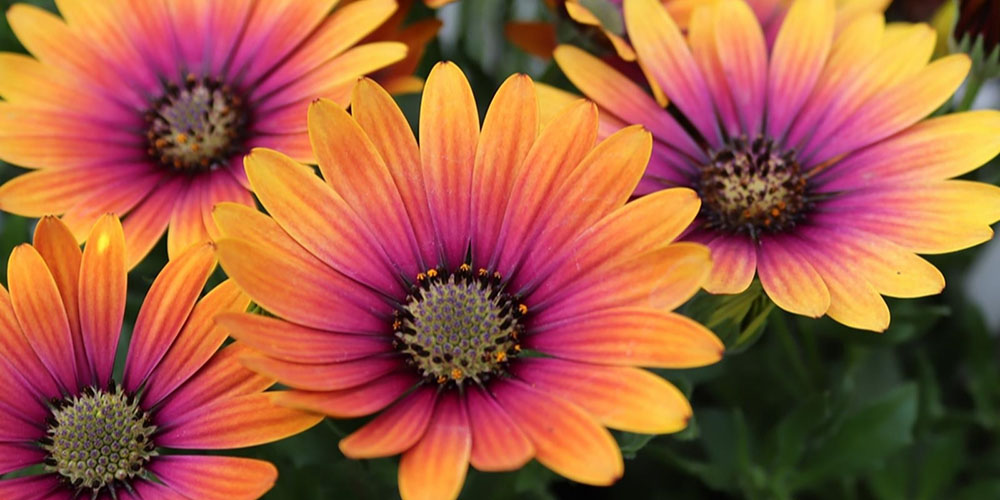 Osteospermum Purple Sun feature image