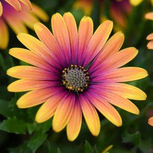 Osteospermum Purple Sun