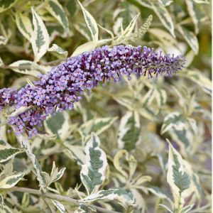 Buddleia Butterfly Gold