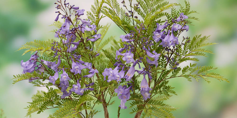 Jacaranda Bonsai Blue Shrub Of The Month Mr Plant Geek