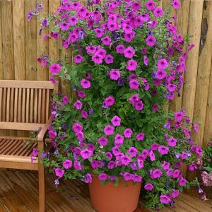 Petunia hybrida 'Purple Tower'