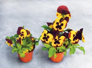 Pansies - Root Booster