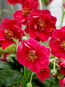 Strawberry Summer Breeze Rose - ABZ Seeds