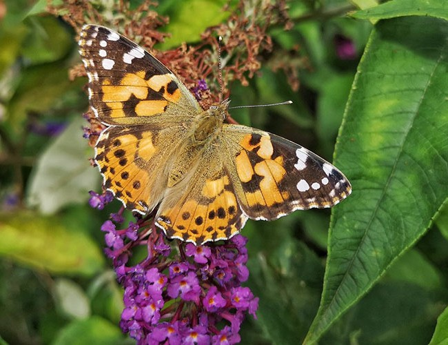 Butterfly on buddleia feature image