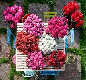 Rhododendron Devil - Hortinno