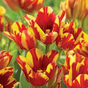 Club Tulips