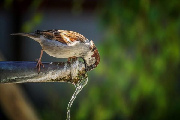 Bird drinking from outdoor tap