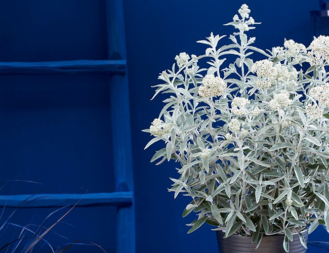 Buddleja 'Silver Anniversary' feature image