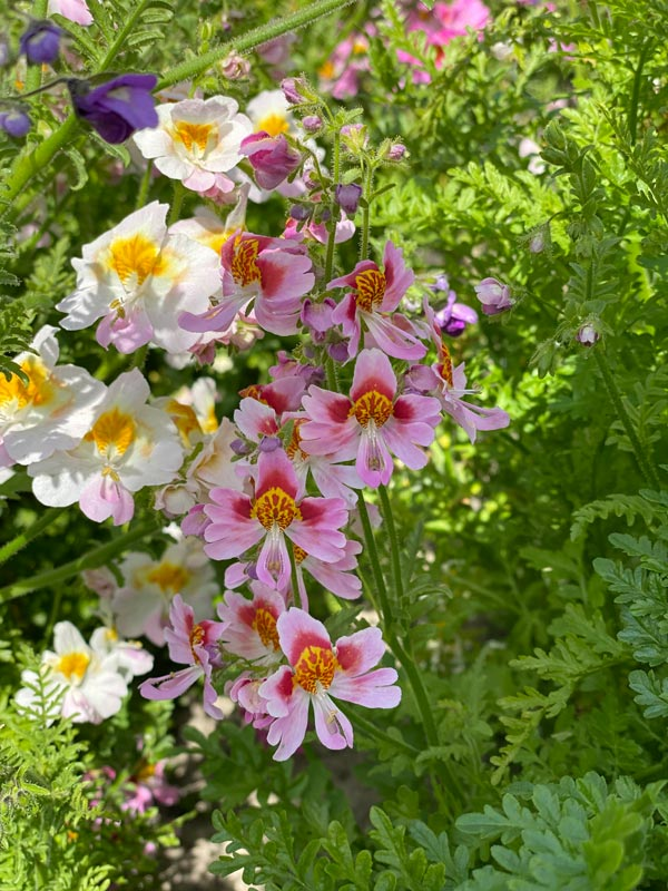 Schizanthus Mixed