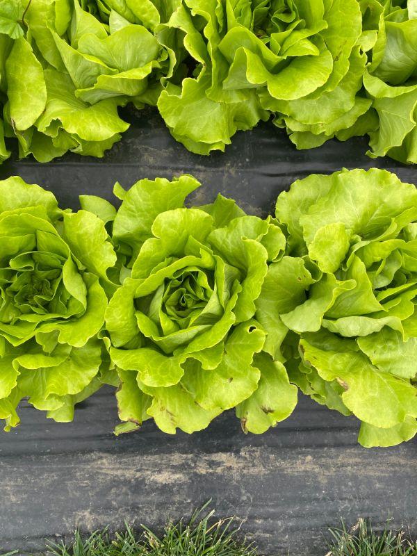 Rosebud Lettuces