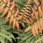 Dryopteris Jurassic Gold