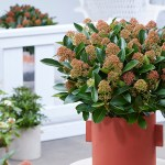 Skimmia 'Miracle Series' feature image