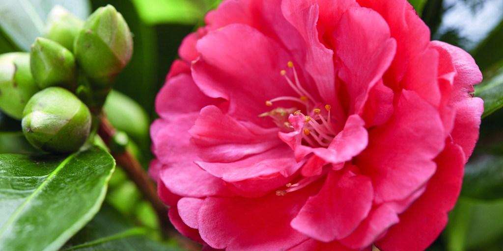 Camellia Summer Nights