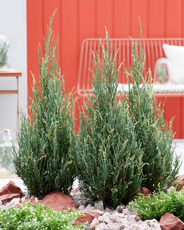 Juniperus Blue Ivory