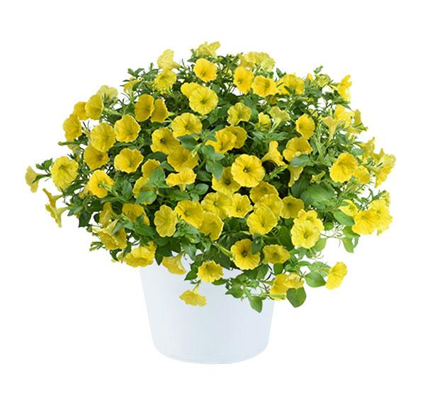 Petunia Cappella Hello Yellow