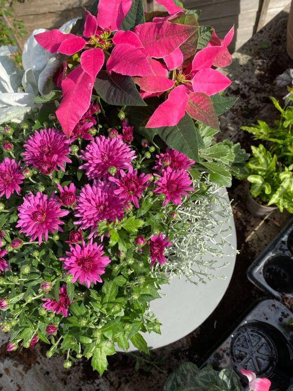 Chrysanthemum Poppins