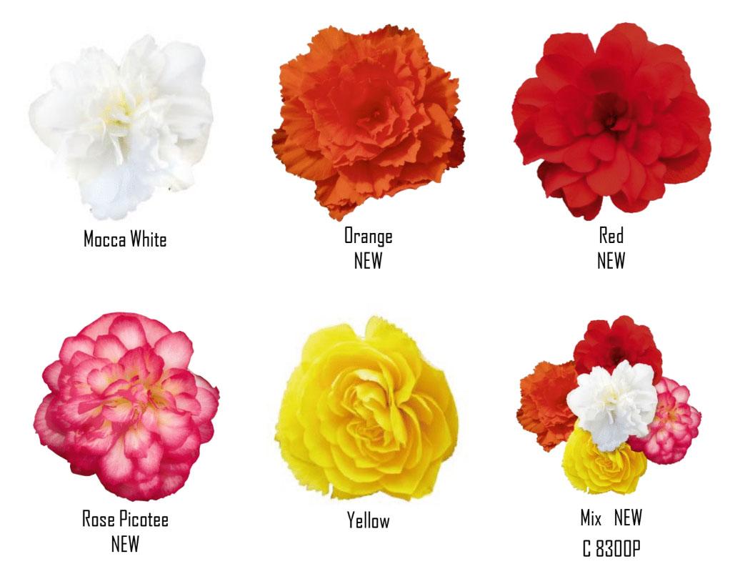 Begonia Nonstop Joy colour range