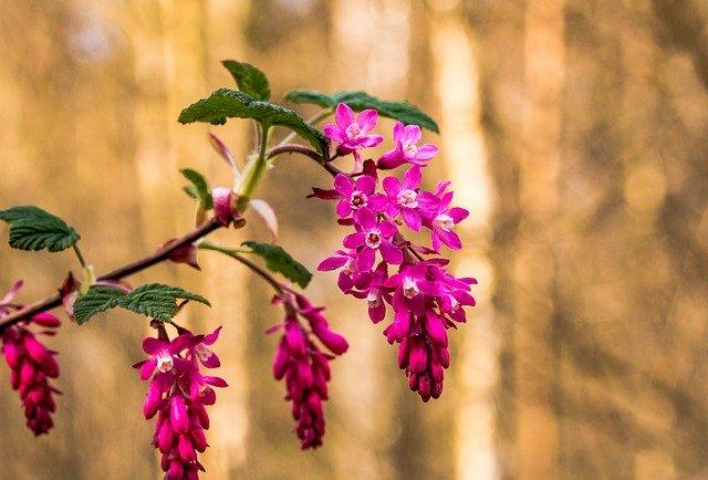 Ribessanguineum