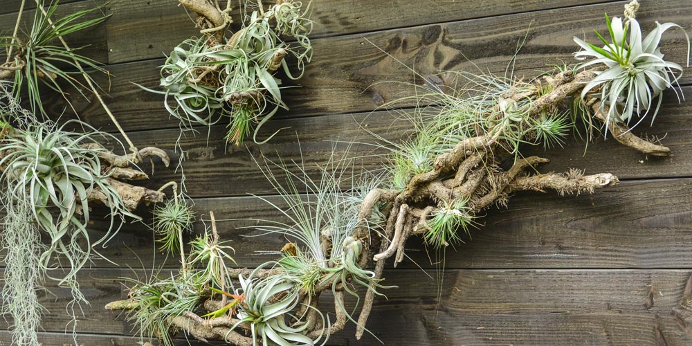 Air plants feature image