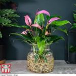 Anthurium in glass