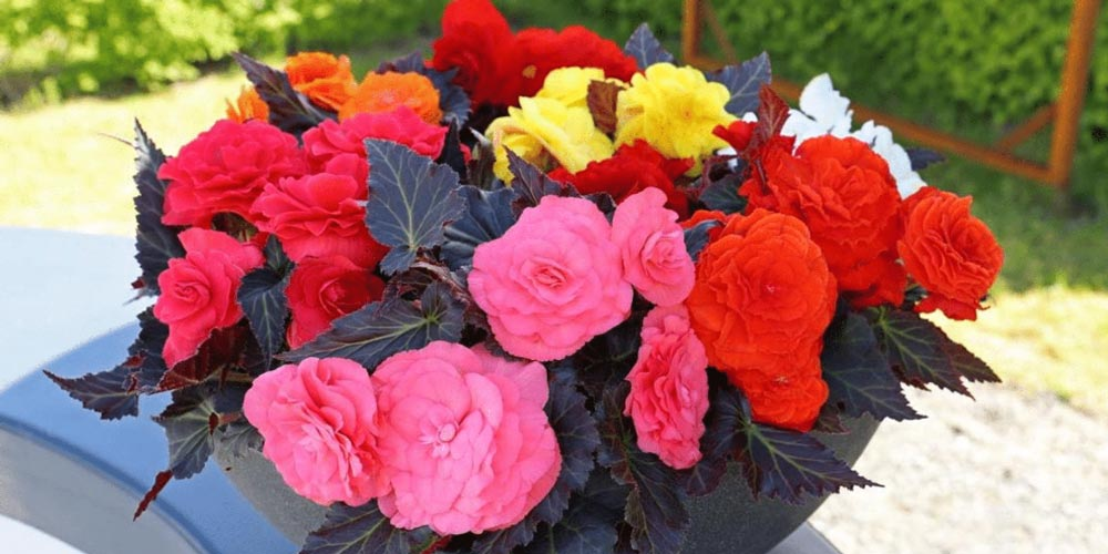 Begonia Nonstop - feature image