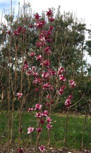 Magnolia 'Starburst'