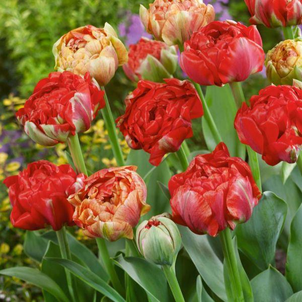 Tulip Gudoshnik