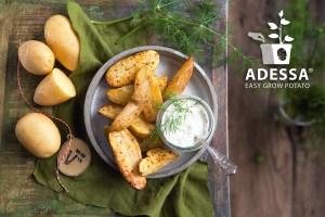 Pot Potato 'Adessa®' F1