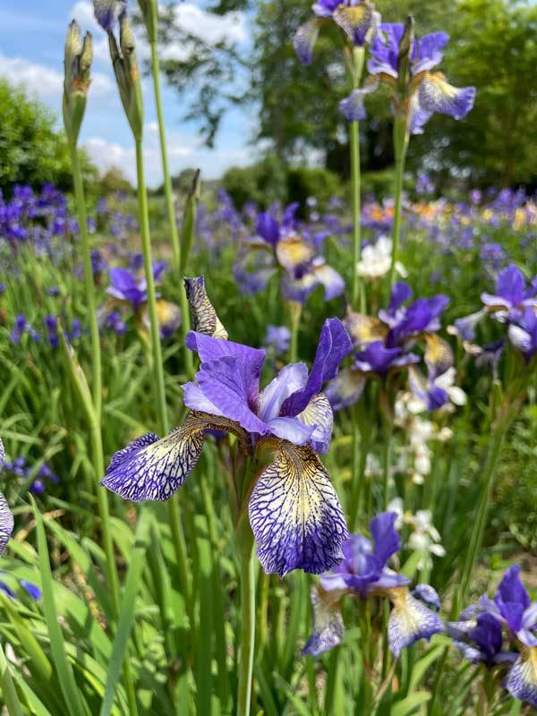 Iris 'Banish Misfortune'