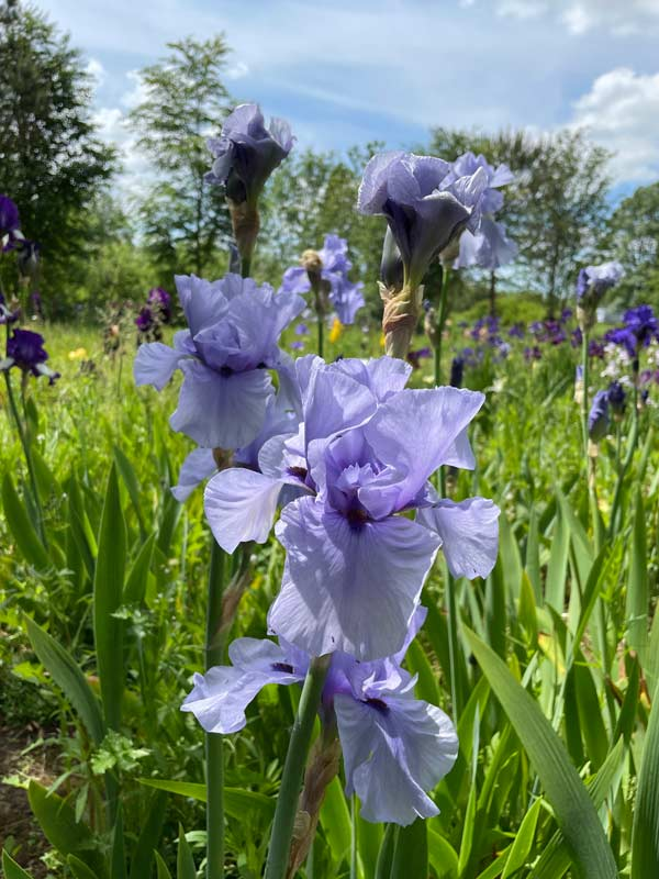Iris 'Codicil'